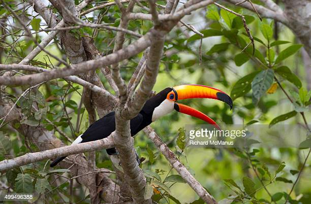Toco toucan in the Pantanal