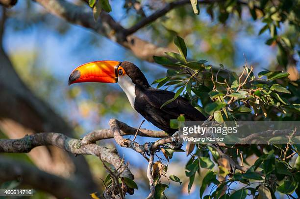 Toco toucan is searching for fruit in a tree at Porto Jofre in the northern Pantanal, Mato Grosso province in Brazil.
