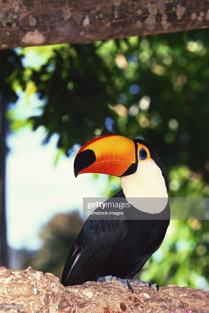 Toco Toucan , Pantanal , Brazil : Stockfoto