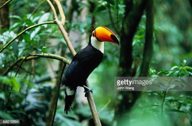 Toco Toucan (Ramphastos toco) perched in tree