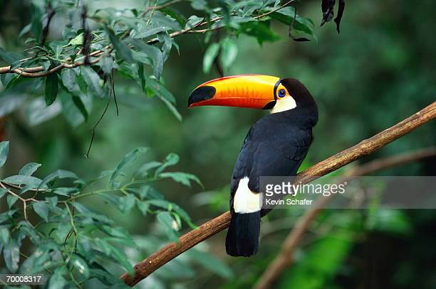 toco toucan (ramphastos toco) perched on branch, brazil - tropical bird stock pictures, royalty-free photos & images