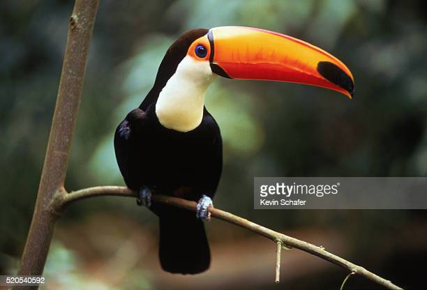 toco toucan - toucan stock pictures, royalty-free photos & images