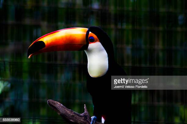 toco toucan - joemill flordelis stock pictures, royalty-free photos & images