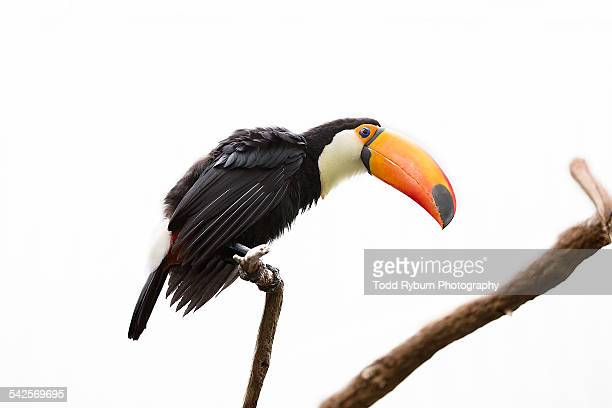 toco toucan - toucan stock photos and pictures
