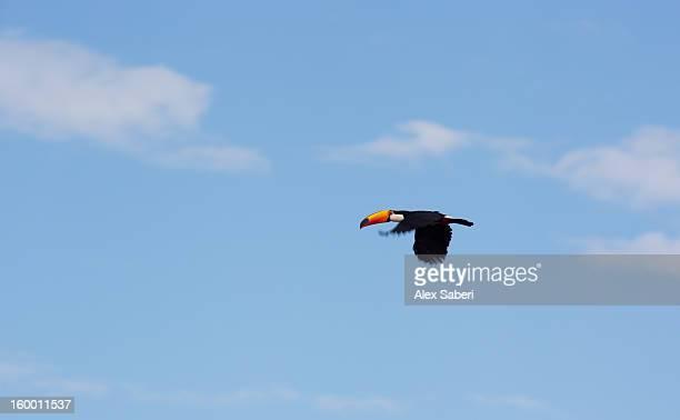 a toco toucan, ramphastos toco, flies over the pantanal. - alex saberi photos et images de collection