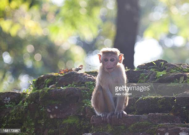 a tocque macaque at the temple in polonnaruwa. - alex saberi stockfoto's en -beelden
