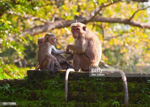 tocque macaques at the temple in polonnaruwa. - alex saberi - fotografias e filmes do acervo