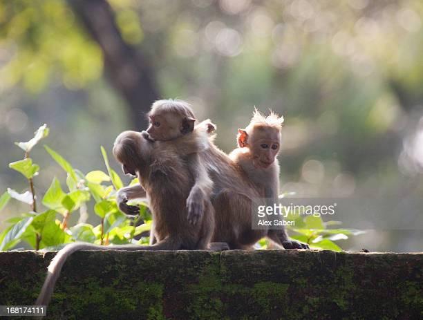 tocque macaques play at the temple ruin in polonnaruwa. - alex saberi - fotografias e filmes do acervo