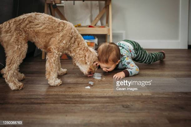 toddler boy and dog licking spilled milk off wooden floor - play off stock pictures, royalty-free photos & images