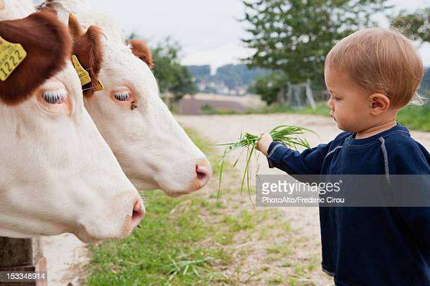 Toddler boy feeding grass to cows, side view
