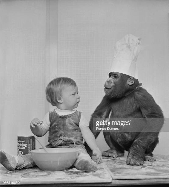 Toddler David Cawley with Western lowland gorilla Caroline wearing a chef's hat during a cooking session UK 14th November 1968