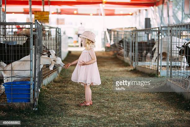 Toddler feeding goats