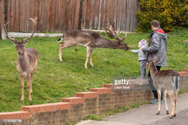 A toddler feeds carrots to the Fallow deer from Dagnam Park as they rest and graze on the grass outside homes on a housing estate in Harold Hill near...