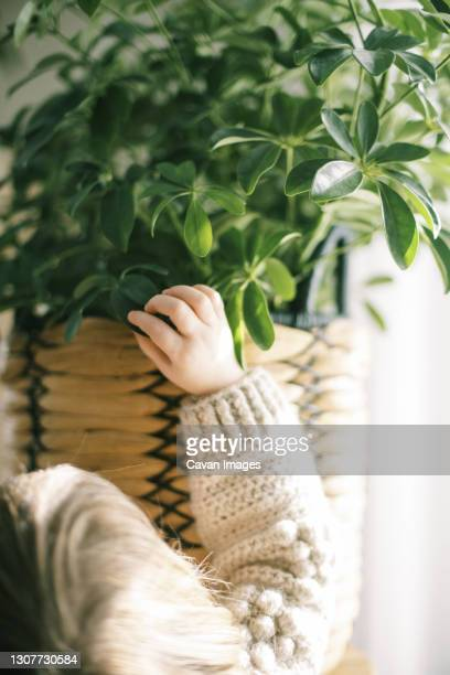 toddler girl touching big schefflera houseplant by a sunny window - queensland umbrella tree stock pictures, royalty-free photos & images
