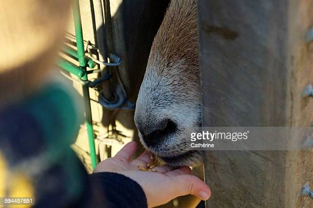 toddler hand feeding goat behind bars - child behind bars stock pictures, royalty-free photos & images