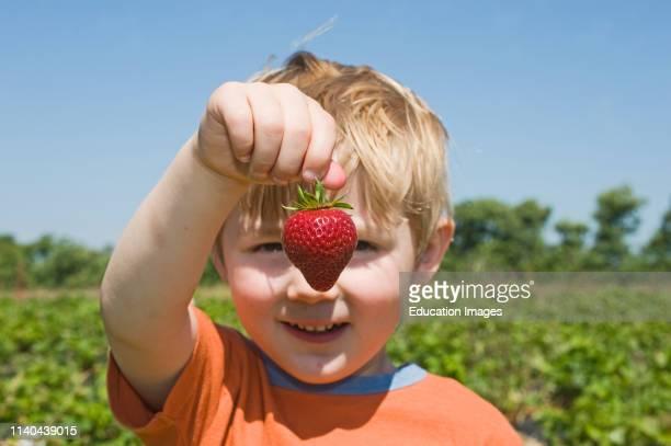 Toddler holding up strawberry at fruit farm Kent UK