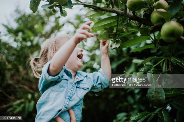 toddler picking apples from an apple tree - apple harvest stock pictures, royalty-free photos & images