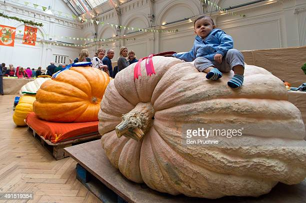 Toddler sits on the winner of the giant pumpkin category during the RHS London Harvest Festival Show at RHS Lindley Halls on October 6, 2015 in...