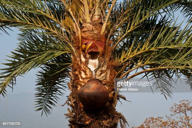 Toddy collected from a palm tree ( India)