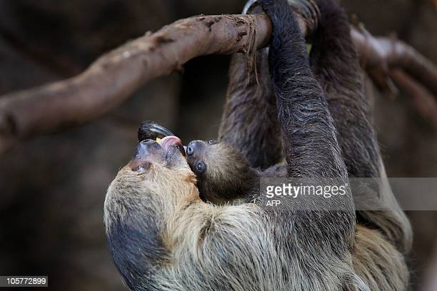 A toe sloth 'Bimba' who gave birth to two babies two months ago carries her baby in the LoroParque Zoo on the spanish canary island of Tenerife on...