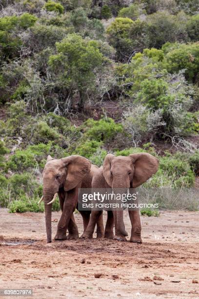togetherness of   african elephants - two young elephants - both with tusks - side by side - - ems forster productions stock pictures, royalty-free photos & images