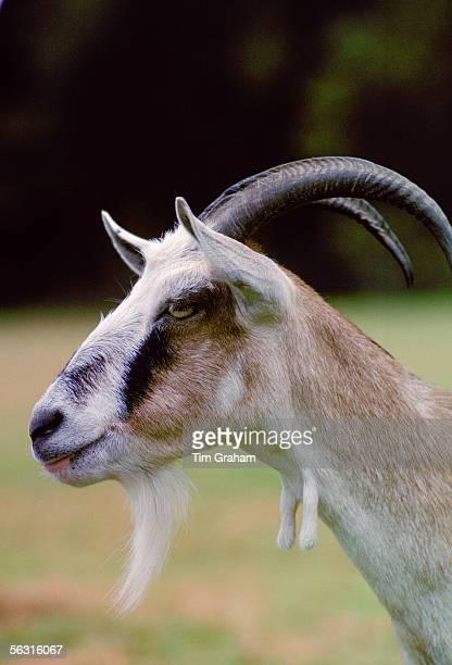 Toggenberg goat England