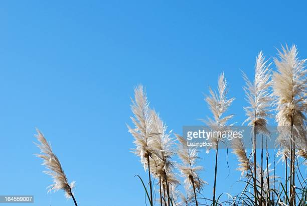 'toitoi' or 'toetoe' grass, backlit by a evening summer sun - cream colored stock photos and pictures