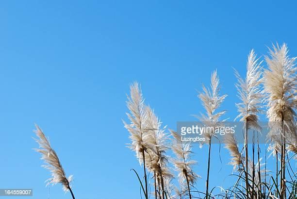 'toitoi' or 'toetoe' grass, backlit by a evening summer sun - crèmekleurig stockfoto's en -beelden