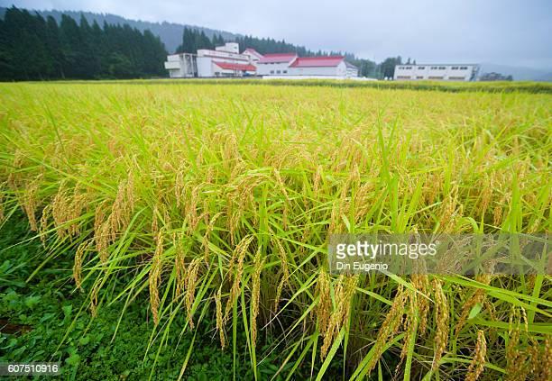 tokamachi rice field - 新潟県 ストックフォトと画像