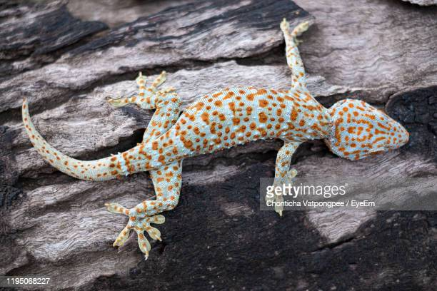 tokay gecko clings into a tree on green blurred background - geco foto e immagini stock