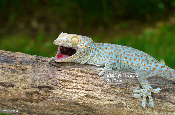 tokay gecko stock photos and pictures getty images