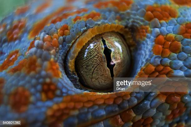 tokay gecko (gekko gecko) - animal eye stock pictures, royalty-free photos & images