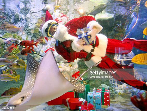 A female diver Ren Takahashi dressed as Santa Claus swims with spotted eagle ray at a fish tank decorated with a Christmas tree and presents at the...