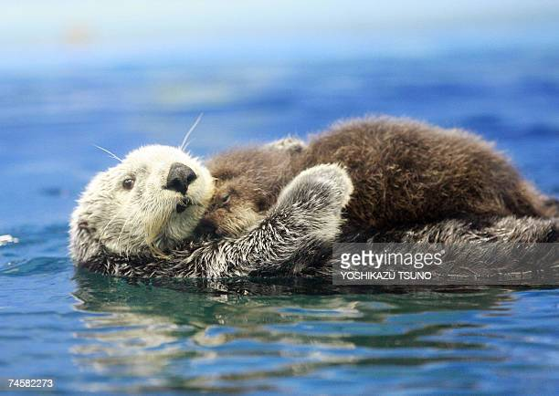 A fiveyearold female Russian sea otter Meel holds her baby on her chest and swims in the large fish tank during a press preview at the Sunshine...
