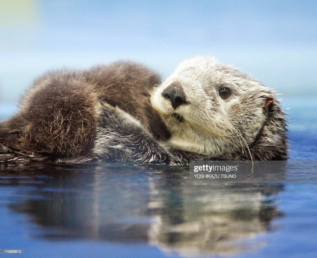 A five-year-old female Russian sea otter... : Foto jornalística