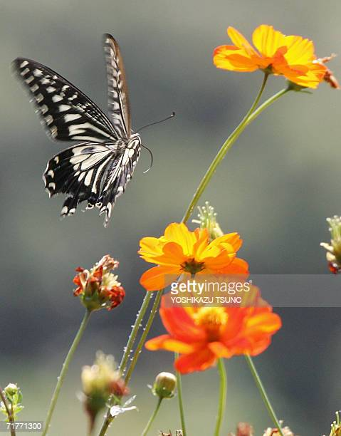 A swallowtail butterfly flaps its wings in the fully bloomed orange cosmos flower field at Tokyo's Hamarikyu Park 02 September 2006 some 150000...