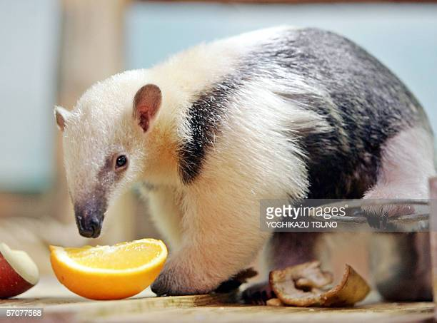 Three-month-old ant eater, Southern Tamandua, eats a slice of orange at the Sunshine International Aquarium in Tokyo 13 March 2006 as the zoo unveils...