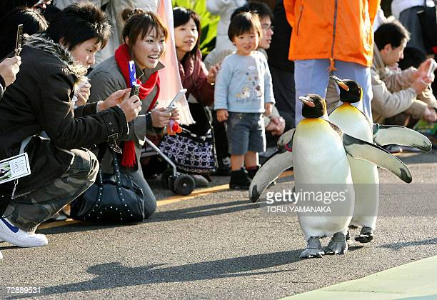 King penguins go for a stroll in front of spectators at Ueno Zoo in Tokyo 28 December 2006 Six penguins go out of their yard for a walk every...