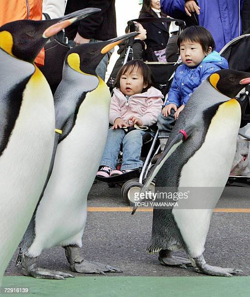 King penguins go for a stroll in front of spectators at Ueno Zoo in Tokyo, 28 December 2006. Six penguins go out of their yard for a walk every...