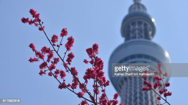 Tokyo Skytree and plum blossom