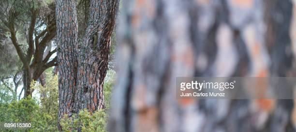 STONE PINE - PINO PIÑONERO (Pinus pinea), Toledo, Castilla - La Mancha, Spain, Europe