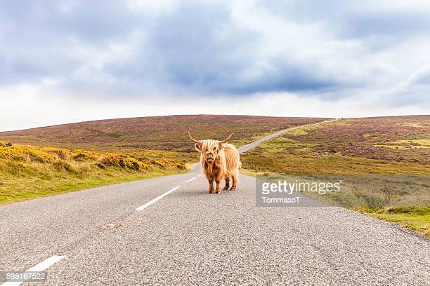 toll road with a giant highland cow as toll collector