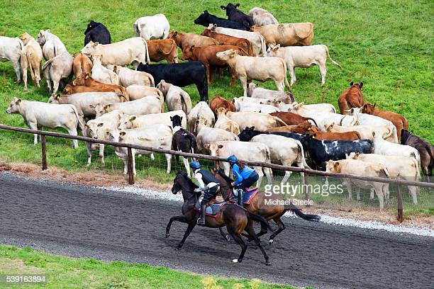 Tom Cheesman and Sophie King head up the polytrack gallop watched by a herd of cows at Sandhill Racing Stables on August 3 2015 in Minehead England...