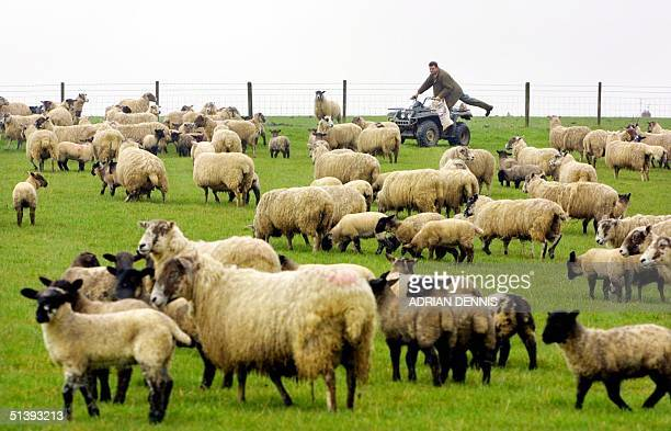 Tom Griffith brings feed to his sheep and their lambs on his farm at Great Doddington in Northamptonshire 60 miles north of London Friday 23 March...