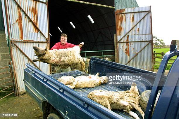 Tom Griffith throws a dead sheep onto his truck at a neighbor's farm near Northampton 23 April 2001 The footandmouth virus restrictions have...