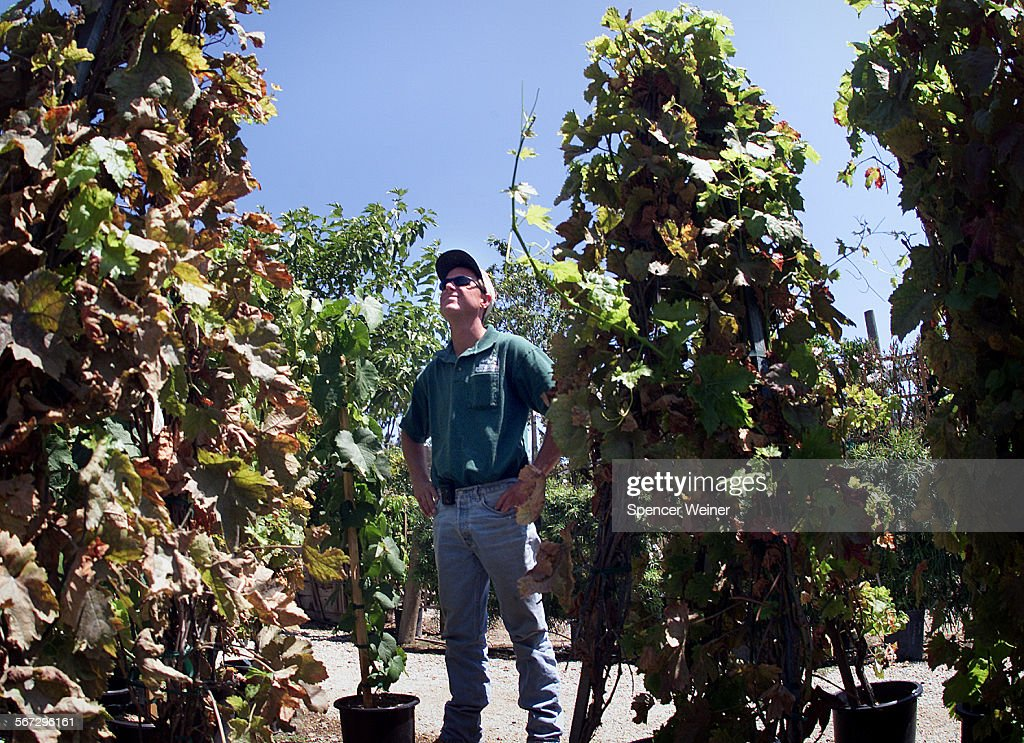Tom Morris Of Baron Brothers Nursery Inspects Grapevine For Gly Winged Sharpershooters The Nurs