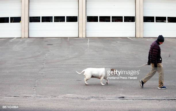 Tom Tipton of Portland walks Pinky past Portland Fire Department's Bramhall Station on Friday Tipton said the 4yearold American Bulldog often trails...