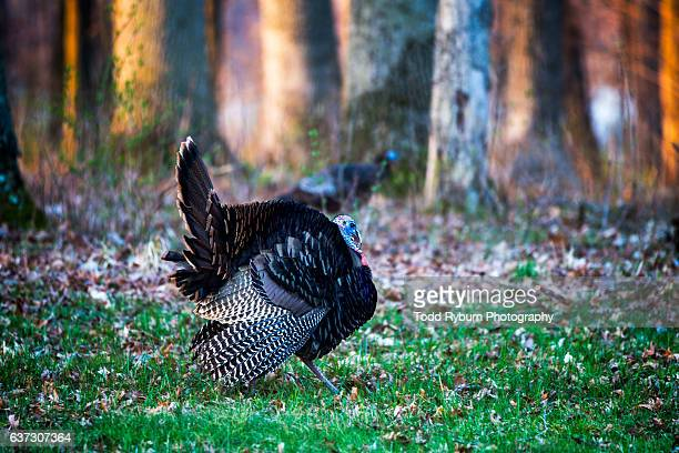 tom turkey - wild turkey stock photos and pictures