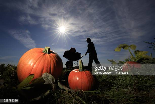 Tomas Spalovsky during the harvest of 40000 Pumpkins at Spilman's pick your own Pumpkin Farm near Thirsk in North Yorkshire