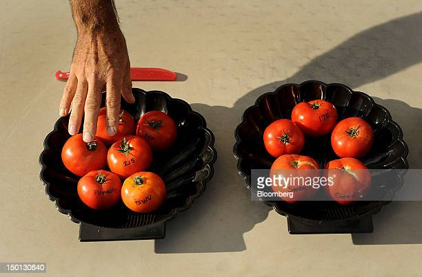 A tomato breeder displays varieties grown at the Monsanto Co facility in Woodland California US on Friday Aug 10 2012 Monsanto Co an American...